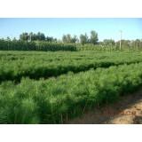 临沂优质120公分高油松苗 临沂哪里有120公分油松基地