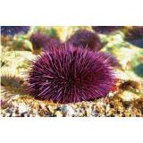 大连紫海胆